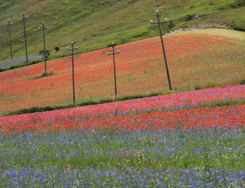 The great flower-show of Castelluccio