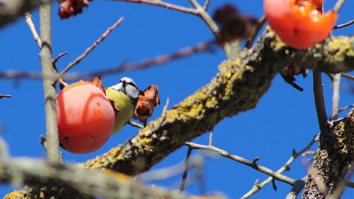 Der Kakhibaum als Vogelfutter